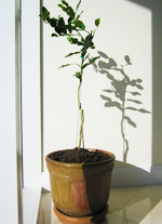 Potted Kaffir Lime Tree