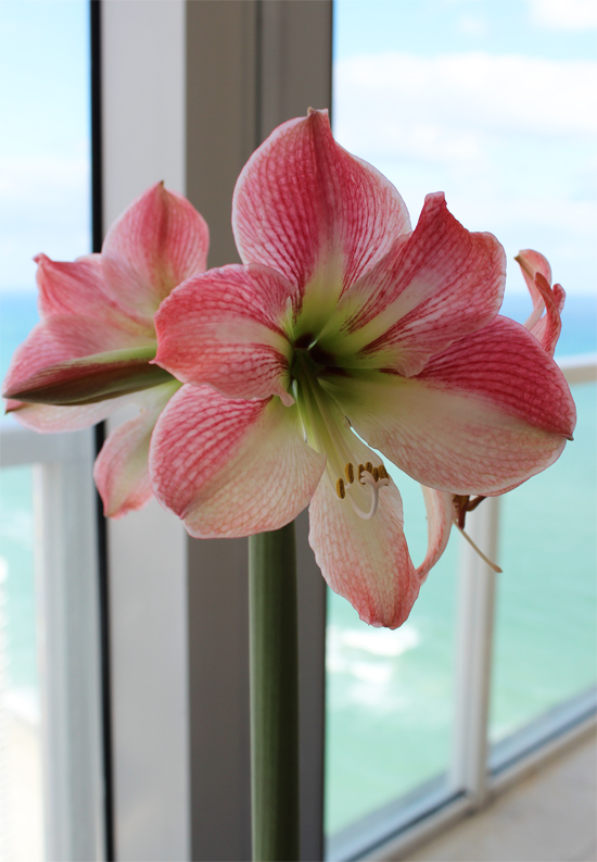 Spring Amaryllis at Life's Dandies